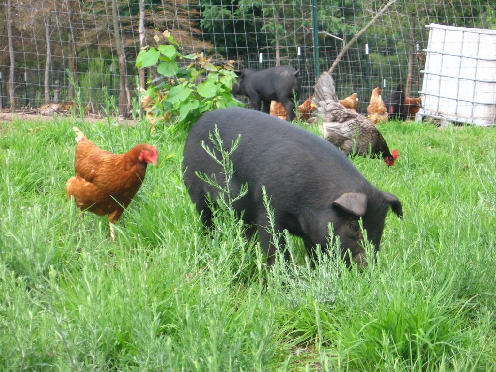 Parable The Pig And Chicken: Non-GMO Heritage Hogs
