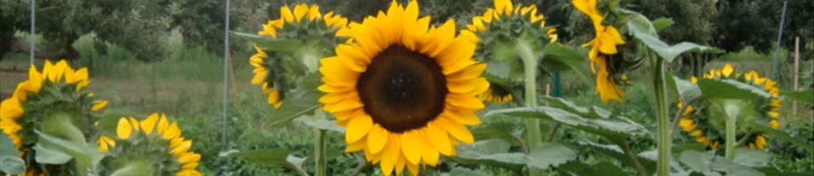 Tall bright sunflowers