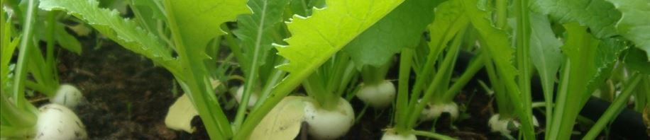 So delicious salad turnips
