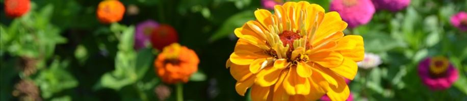 Brighten your day zinnias