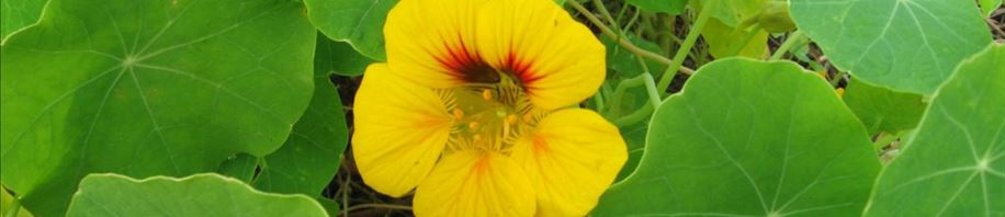 Yellow Nasturtium flower - time for a salad
